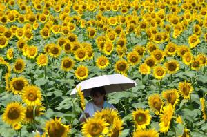 sunflowers-world